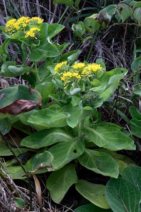 ワダン (海菜) キク科 アゼトウナ属  花よりキャベツのような葉に目が行く