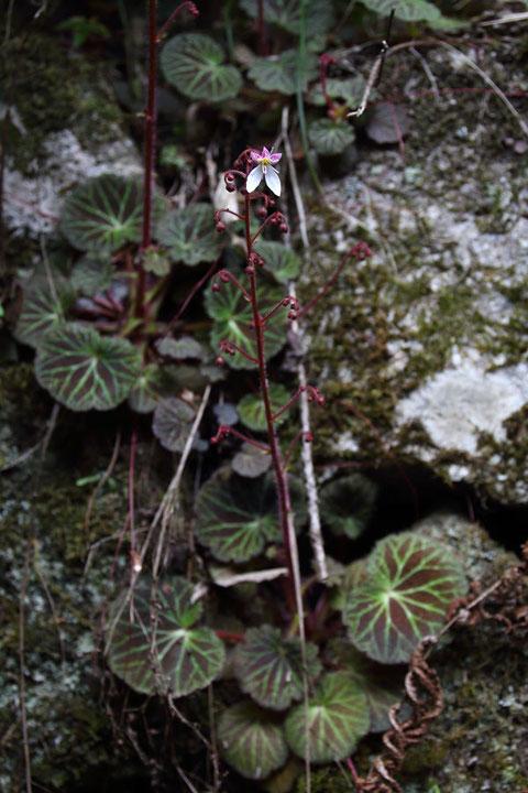 ユキノシタ (雪の下) ユキノシタ科 ユキノシタ属  茎頂の花から咲くんだね