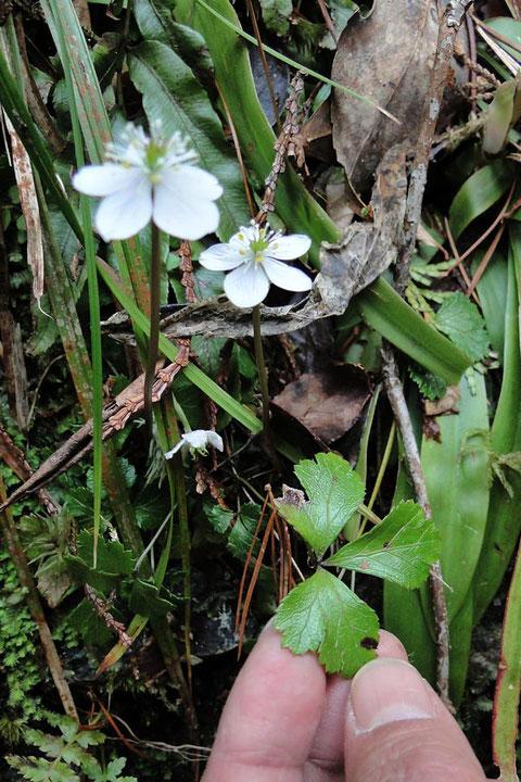 #3 キタヤマオウレンの葉は根生し、葉柄の長さは1〜8cmで、葉は普通三全裂する