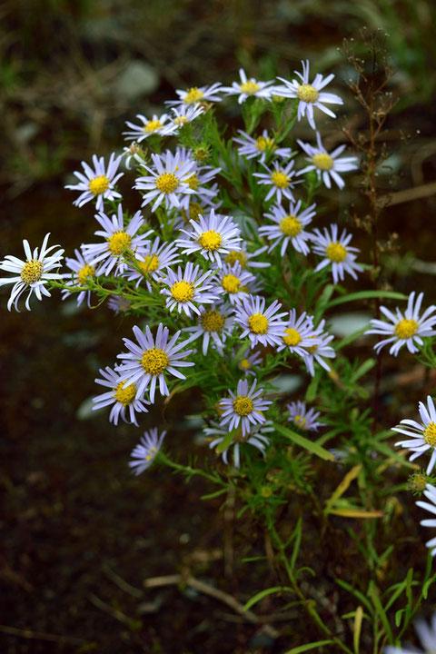 カワラノギクの若い花はわずかに紫色を帯びる。 その後白くなっていくようだ。