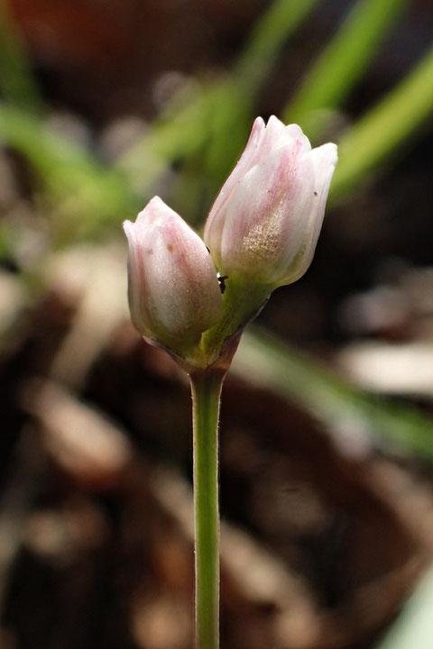 花を2つつけたヒメニラは初めてだったのでもう1枚