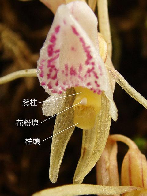 トラキチランの蕊柱(花粉塊、柱頭)