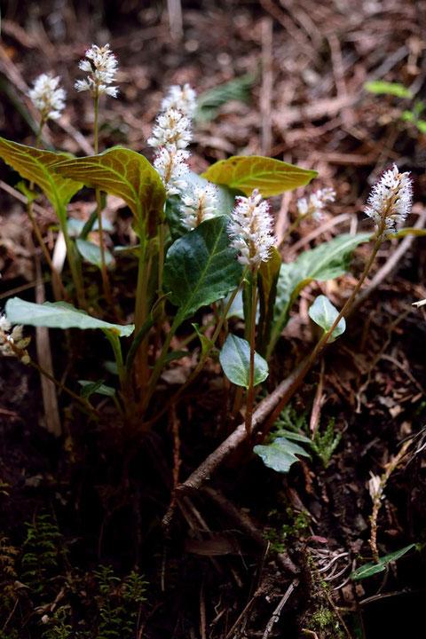 ハルトラノオ  小さな花だが、よく見るととても美しい