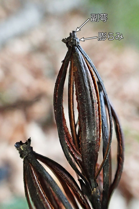 副萼の下に膨らみが認められた。 これはエンシュウムヨウランの特徴だが...