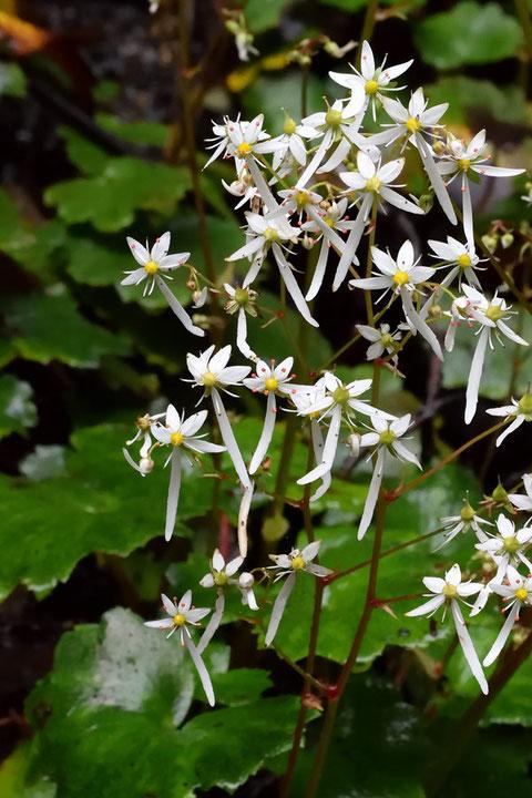 #13 ダイモンジソウ下側2花弁のうち、一方が非常に短い花も多かった