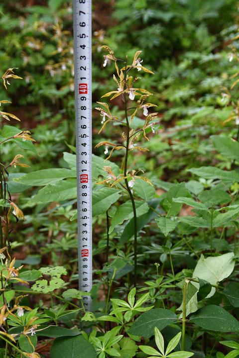 #5 草丈の実測。 高さは30〜40cmとされています。 この株は約43cmでした