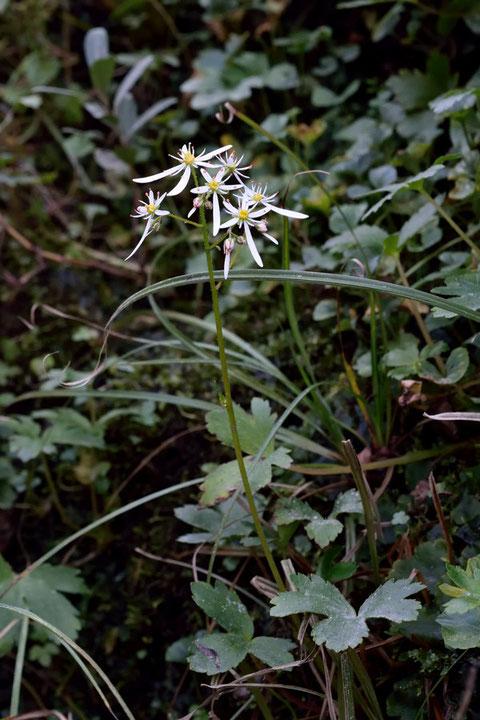 草丈は5〜40cmほど。 本州の中部以西と九州に分布します。