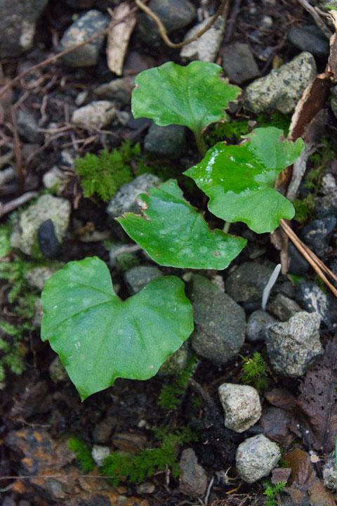 ムカゴサイシン (零余子細辛) ラン科 ムカゴサイシン属  花後に葉が出る
