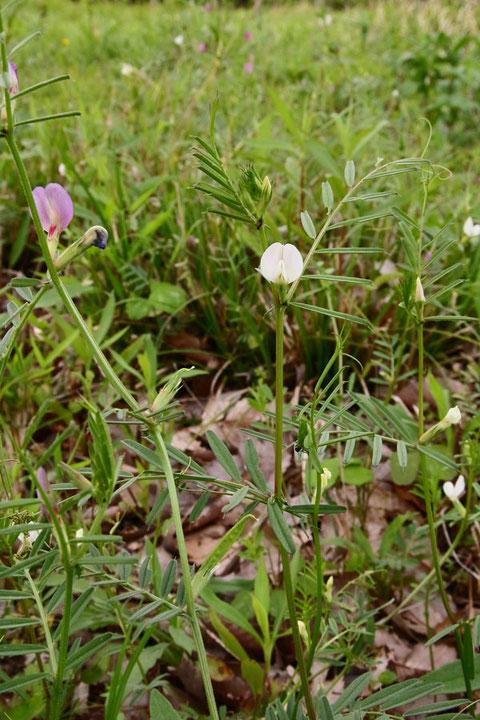 カラスノエンドウ(ヤハズエンドウ)の白花品種  2014.04.29 茨城県