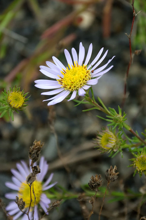 カワラノギクの頭花の直径は3〜4cm