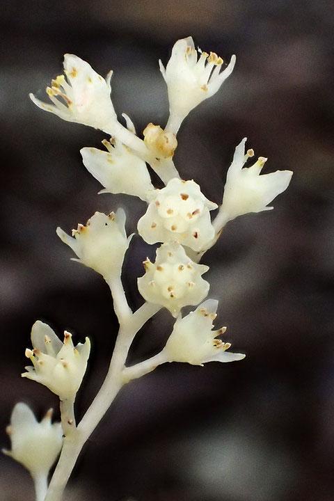 サクライソウの雄しべは6個で、花被内片よりやや短い。 葯は卵形で、花粉は淡黄色