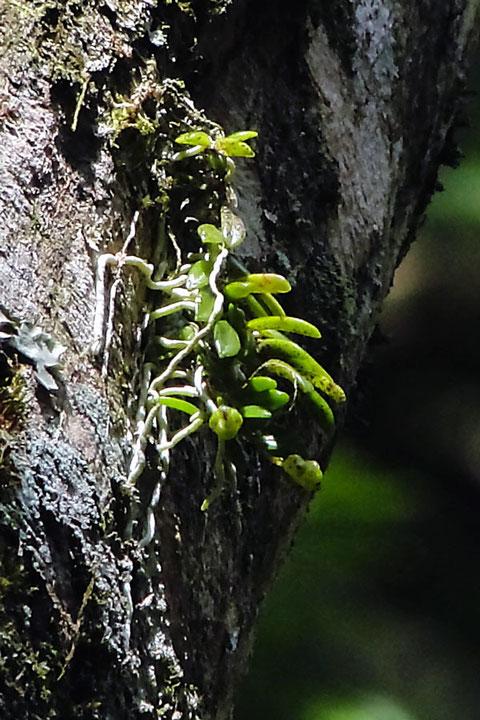 マツラン  和名の由来は、松の木に着生することが多いからだそうです