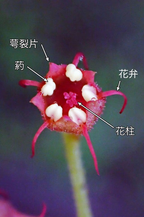#11 タキミチャルメルソウの花