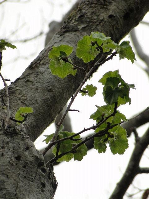 ヤシャビシャク 夜叉柄杓 ユキノシタ科 スグリ属 2010.4.24福島県