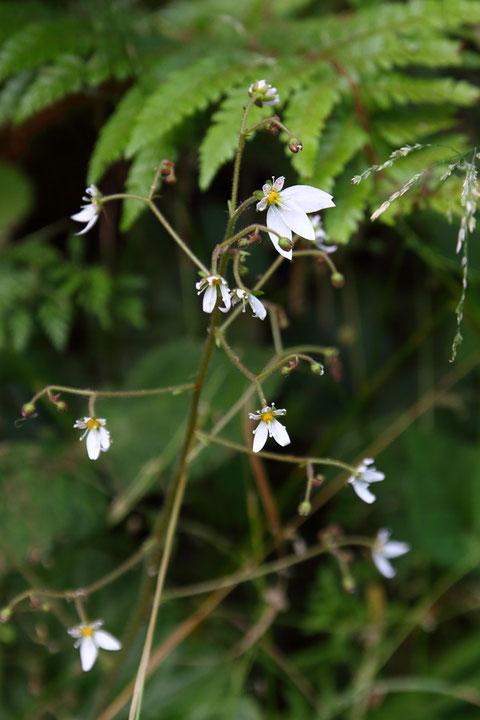 ユキノシタが咲いていた ひとつだけ異様に大きな花が・・
