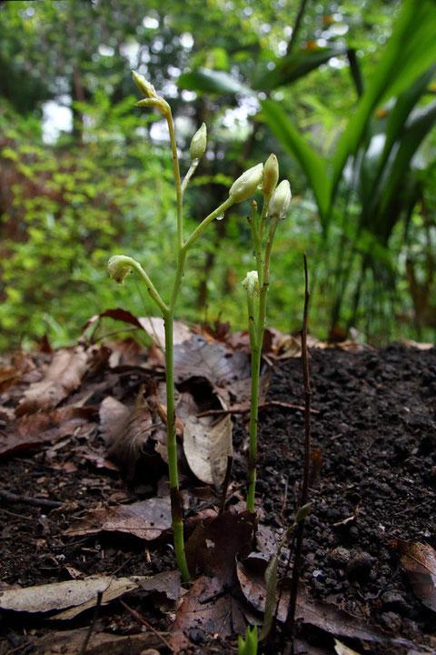 秋咲きサガミランの新株。 7月5日に花を観察した夏咲きの茎が横に残っています