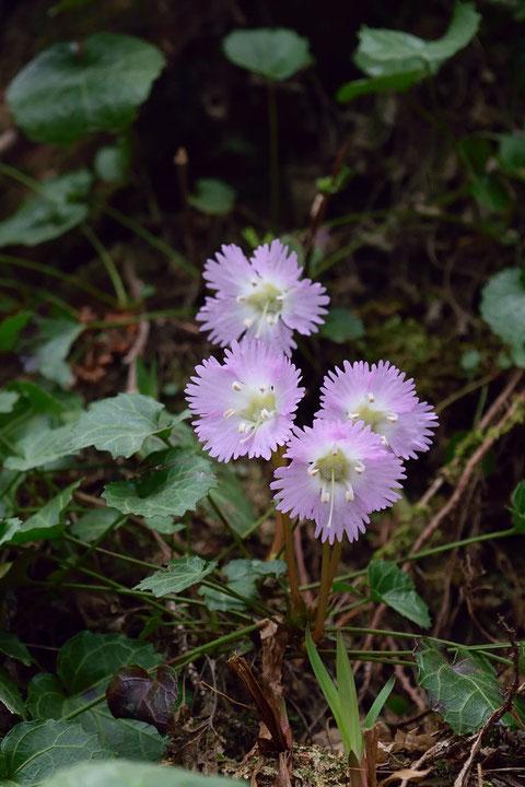 イワウチワ 花の形もかわいい