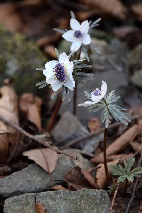 通常の2〜3倍の数の雄しべを持つ花があった。 萼片も多く、形状も歪だった。