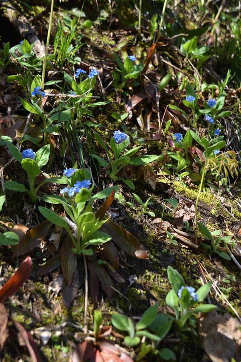 エチゴルリソウ  まだ咲き始めで、初々しい