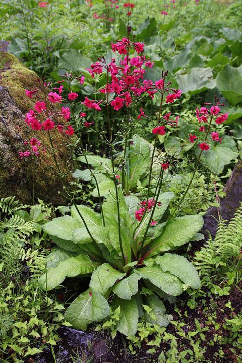 クリンソウは日本のサクラソウ科植物では最大級。 大きな葉は茎の基部付近につきます。