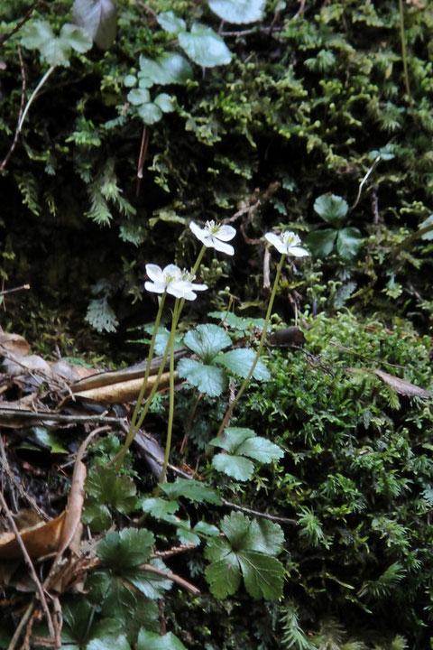 #1 キタヤマオウレン   2010.04.03 岐阜県