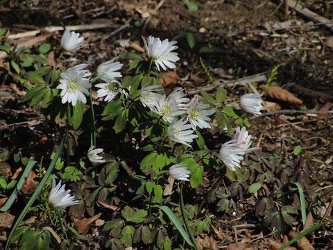 アズマイチゲ 沢山咲いていた〜かわいいねー