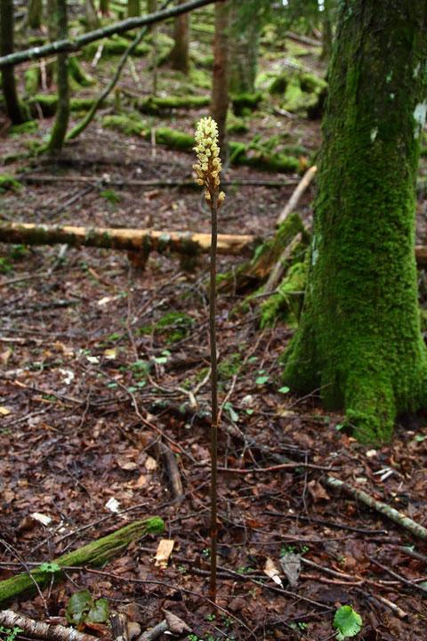 オニノヤガラ (鬼の矢柄) ラン科 オニノヤガラ属  高さ1mほどもあります