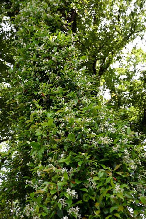 テイカカズラ (定家葛) キョウチクトウ科 テイカカズラ属 つる性の植物
