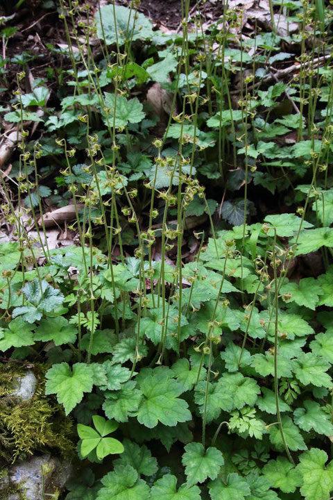 #12 コチャルメルソウの花茎の高さは20〜30cm 2017.04.10 八王子市