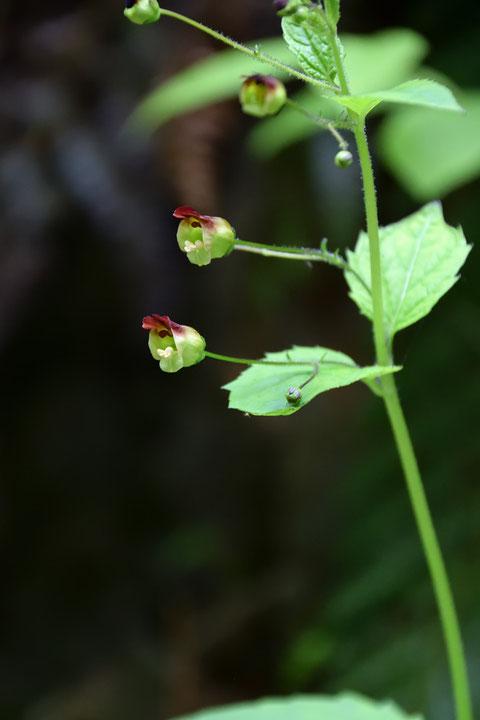 サツキヒナノウスツボの花柄は細長く、花は横向き〜やや上向きにつきます。  名の由来は小さな壺状だから