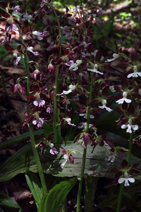 唇弁が濃紅色の株とほぼ白色の株が、隣り合って花を咲かせていた。
