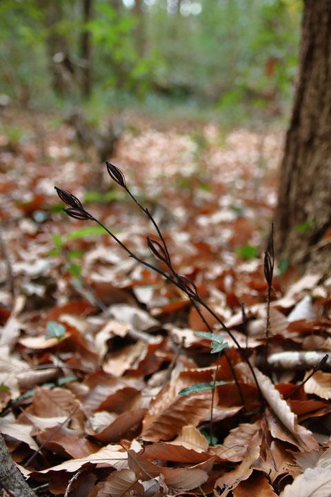 コナラの根元にあった。 高さは15cmほど。 6個の花ガラが残っていた