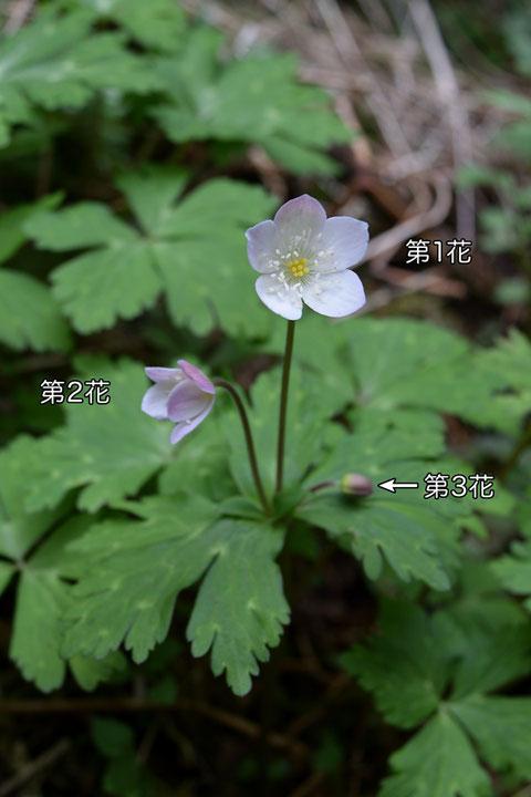 #7 3個の花をつけたニリンソウ 2016.04.02 栃木県那須郡 alt=190m