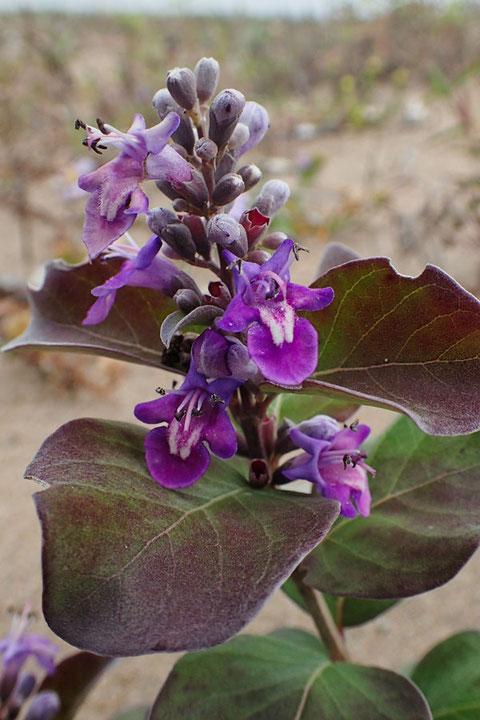 ハマゴウ  花期は8〜9月と思っていたが、まだ元気に咲いていた
