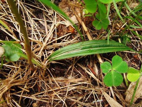 コハクランの葉は1個。 縦じわと白っぽい主脈が目立つ