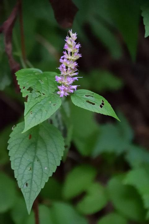 カワミドリ (河緑) シソ科 カワミドリ属  花は終盤