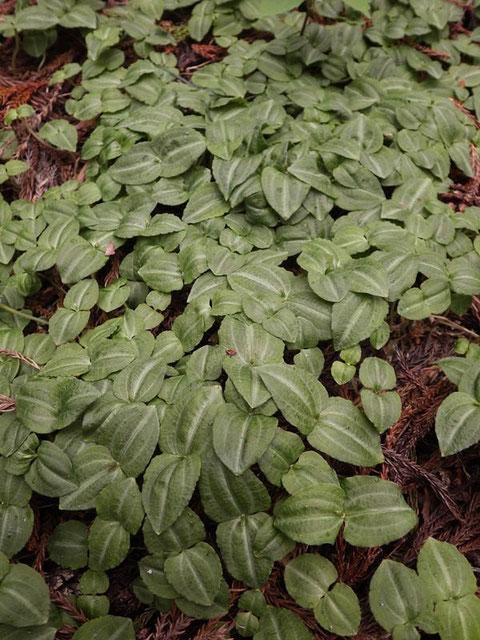 アオフタバラン (青二葉蘭) ラン科  ちっちゃな花茎を伸し始めていた