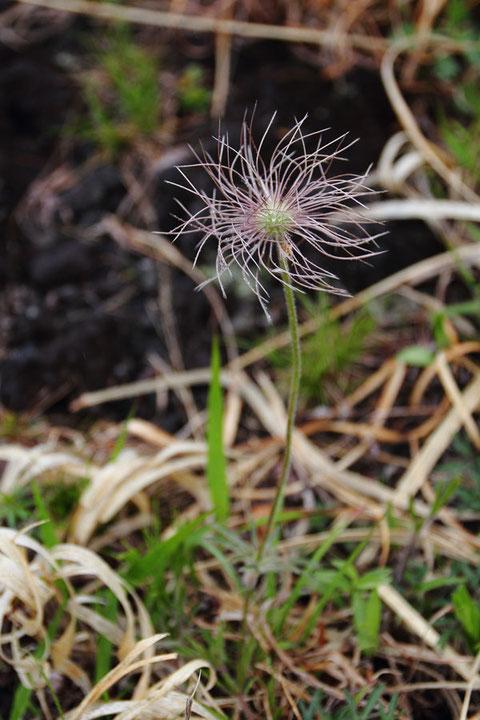 オキナグサ (翁草) キンポウゲ科 オキナグサ属  花は終わり果実期です