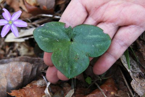 オオミスミソウは葉も大きい! 上の葉は側小葉の差し渡しで約7cmありました。