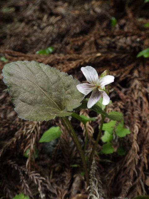 タカオスミレ (高尾菫)  ヒカゲスミレの品種