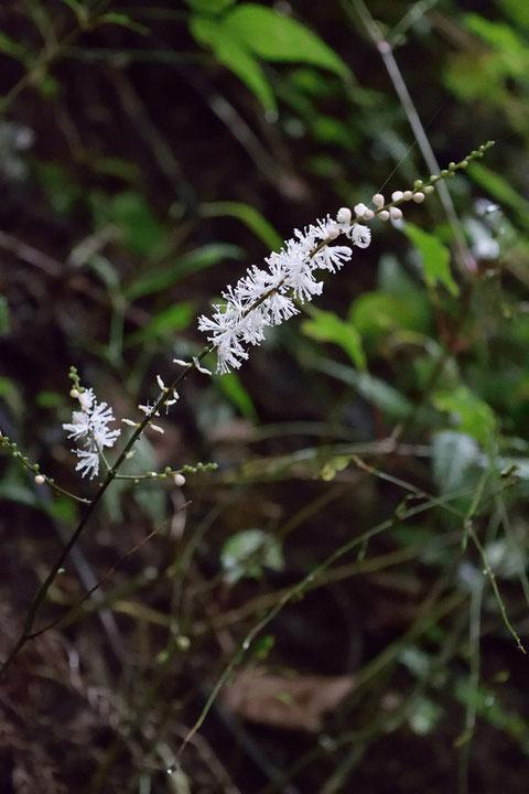 イヌショウマの花序はバラけた感じ。 サラシナショウマは整った穂状の花序