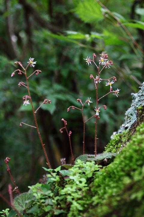 #18 ホシザキユキノシタ ピークは過ぎていましたが、これから咲く花もありました