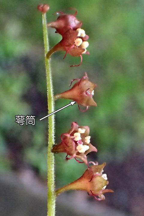 #10 タキミチャルメルソウの花の萼筒は、釣鐘形