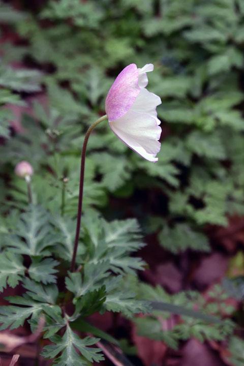 イチリンソウ 萼片の外面がほんのり桜色で美しい