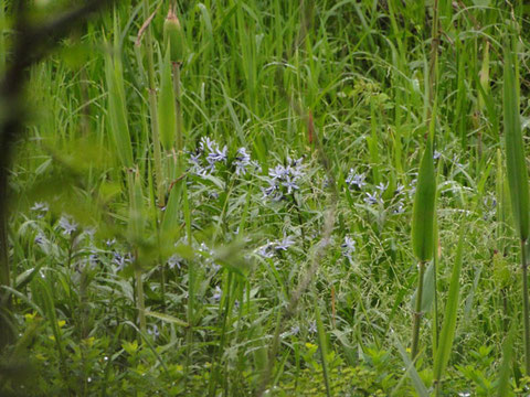 木々の間から望遠レンズでなんとか垣間見えた湿原。チョウジソウが咲いていた。