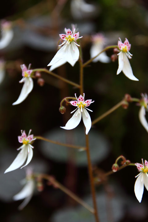 ユキノシタの花は、近寄って見てこそ、その魅力がわかる