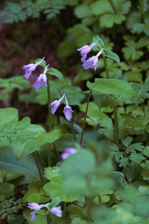 カモメランの花たちはとても状態がよく見えた。 まさに見頃。