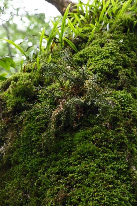 スギラン (杉蘭) ヒカゲノカズラ科  出逢うことがとっても難しい植物