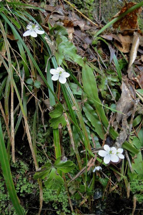 #2 渓流沿いの斜面に咲くキタヤマオウレン