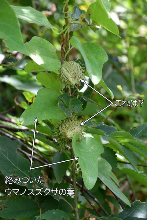 ウマノスズクサが絡みついたこの木(?)の花(?)はなんだろう?